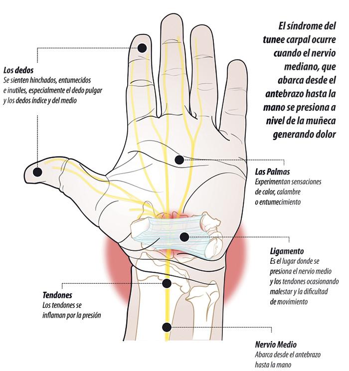 Increíble Anatomía Del Nervio De La Muñeca Componente - Anatomía de ...